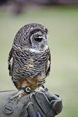 Timid chaco owl bird of prey during falconry display — Stock Photo