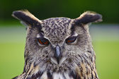 Stunning European eagle owl — Stock Photo