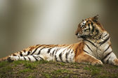 Beautiful tiger laying down on grassy bank — Stock Photo