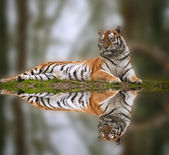 Beautiful tiger laying down on grassy bank reflection in water — Stock Photo