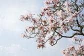 Schöne frische magnolia frühjahr blühen auf lebendige blauen himmel — Stockfoto