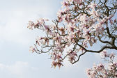 Flor de primavera magnolia fresca hermoso cielo azul vibrante — Foto de Stock