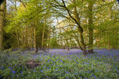 Bright fresh colorful Spring bluebell wood — Stockfoto