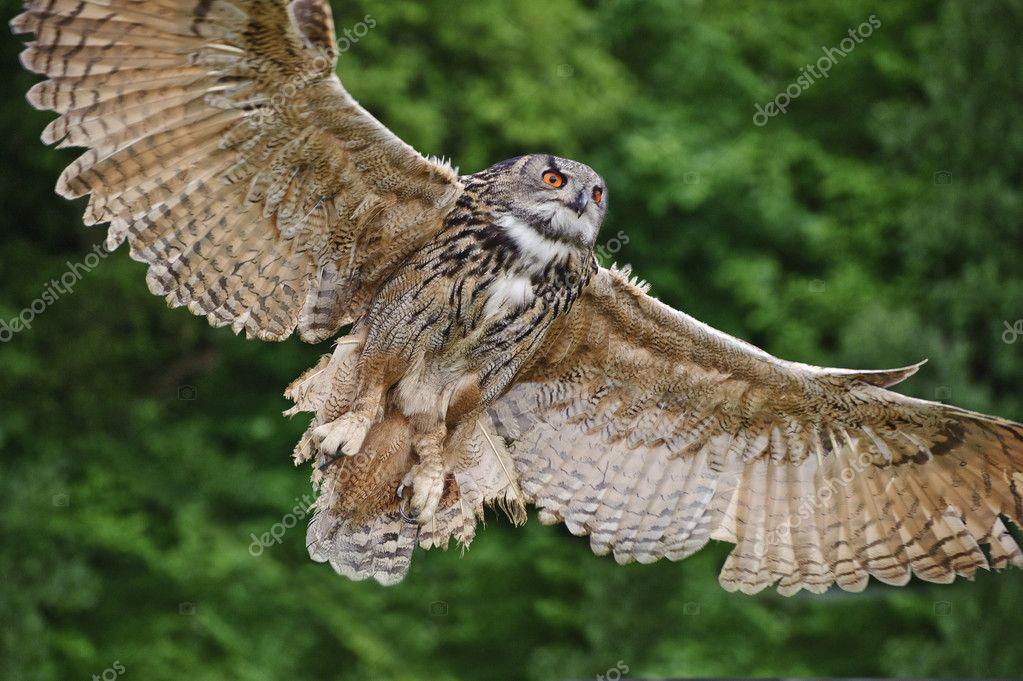 летящий филин фото