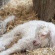 Adorable Spring lamd sleeping in farmyard — Stock Photo