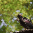 Close up of rare bald ibis bird in captivity on breeding program — Stock Photo