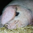 Domestic sow pig sleeping on farm in straw - Stock Photo