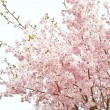 Beautiful high key bright Spring blossom image — Foto de Stock