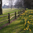 Beautiful daffodil covered walkway through forest scene — Stock Photo