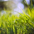 ������, ������: Spring nature background with grass blades and defocussed lights