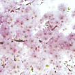 Stock Photo: Beautiful high key bright Spring blossom image