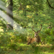 Stock Photo: Red Deer Rutting Season Autumn Fall