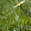 Fresh Spring daisy flower with low view and shallow depth of fie - Stock Photo