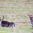 Herd of fallow deer stag bucks - Stock Photo