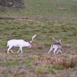 White fallow deer stag dominates younger buck — Foto Stock