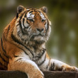 Stunning close up image of tiger relaxing on warm day — Stock Photo #7097265