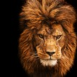 Royalty-Free Stock Photo: Stunning facial portrait of male lion on black background