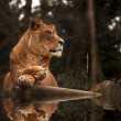 Stunning lioness relaxing on a warm day reflection in water — Stock Photo