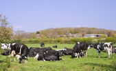 Black and white cows grazing in field on sunny day — Stock Photo