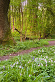 Beautiful fresh Spring bluebell woods with white anomones — Stock Photo