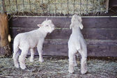 Two adorable Spring lambs eating from food trough on farm — Stock Photo