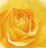 Beautiful macro close up of fresh sprring rose flower with vibra — Stock Photo