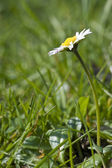 Fresh Spring daisy flower with low view and shallow depth of fie — Stock Photo