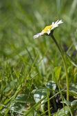Stokrotka wiosna świeży kwiat z widokiem na niski i płytkiej głębi pola — Zdjęcie stockowe