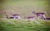 Herd of fallow deer stag bucks — Stock Photo