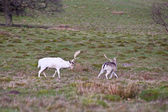 White fallow deer stag dominates younger buck — Stock Photo
