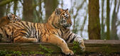 Female tiger tigress laying down with cub behind — Stock Photo