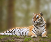 Beautiful image of tiger relaxing on grassy hill — Stock Photo