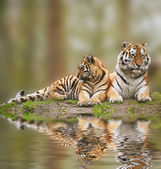 Beautiful image of tigress relaxing on grassy hill with cub refl — Stock Photo
