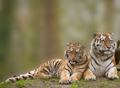 Beautiful image of tigress relaxing on grassy hill with cub — Stock Photo