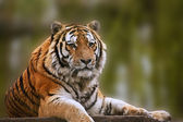 Stunning close up image of tiger relaxing on warm day — Stock Photo