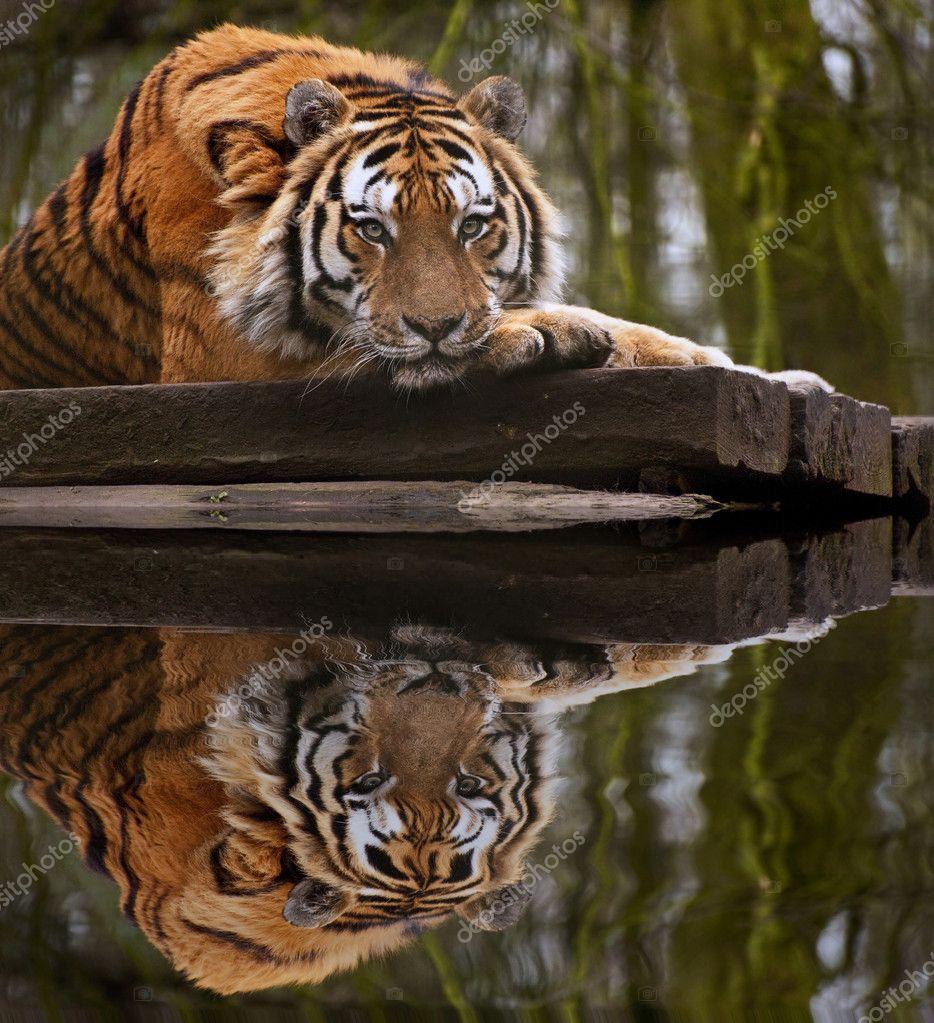 美丽心思心意形象的铺设与头上的老虎爪子 r — 图库照片 #7097281