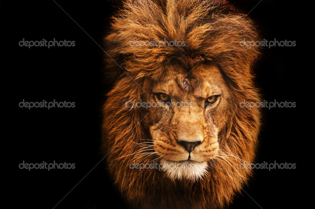 lion wallpapers tumblr #10