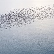 ������, ������: Natural migration of European starlings in murmuration formation