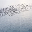 Stock Photo: Natural migration of Europestarlings in murmuration formation