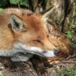 Superb natural close up of red fox in natural habitat - Stock Photo