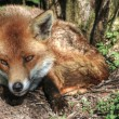 Stock Photo: Superb natural close up of red fox in natural habitat