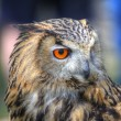 Superb close up of European Eagle Owl with bright orange eyes an — Stock Photo