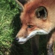 Superb natural close up of red fox in natural habitat — Stock Photo #7126361