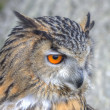 Stock Photo: Superb close up of EuropeEagle Owl with bright orange eyes an