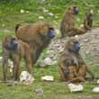 Troop of gelada baboons in captivity — Stock Photo