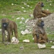Troop of gelada baboons in captivity — Stock Photo #7127660