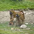 Troop of gelada baboons in captivity — Stock Photo #7127667