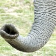 African Elephant  trunk - Stock Photo