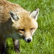 Stock Photo: Beautiful golden red fox in natural habitat