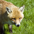 Beautiful golden red fox in natural habitat — Stock Photo #7129495